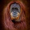 Orangutan female(Lana)