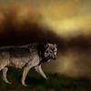 gray wolf - digital art