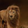 White lion, Cincinnati Zoo