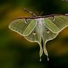 Midnight's Monarch -Luna moth, female