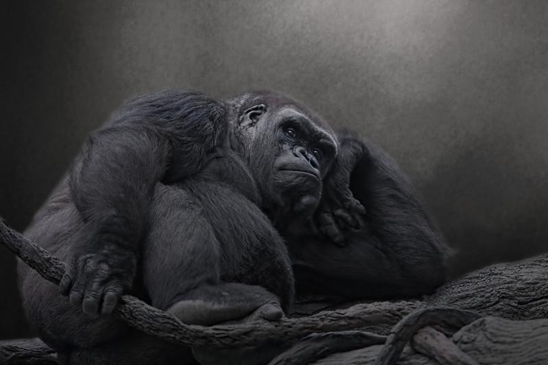 silver back gorilla femal
