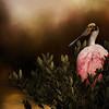Roseate Spoonbill mornin