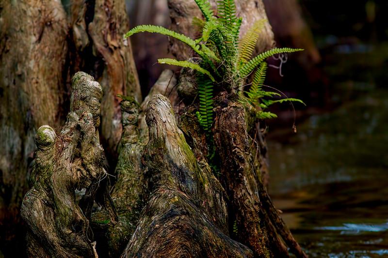 Mt Dora canal - cypress knee