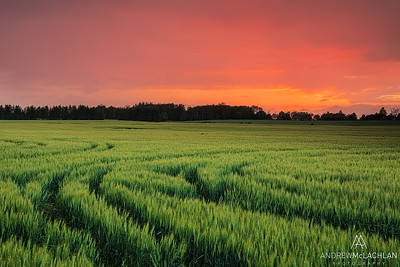Winter Wheat at sunset, Thornton, Ontario, Canada