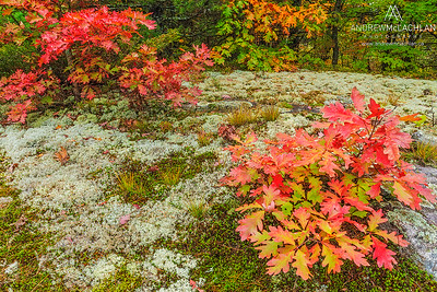 Red Oaks and Lichen, Muskoka, Ontario, Canada