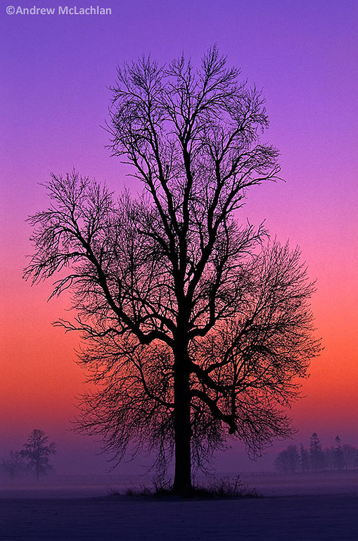 Winter Tree at Sunrise, Elmvale, Ontario