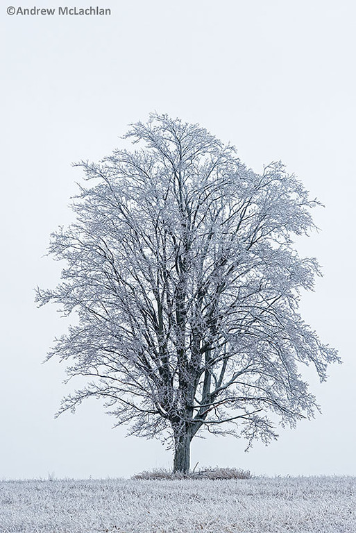 Winter Tree After Ice Storm, Thornton, Ontario