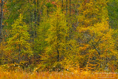 Tamarack Trees, Muskoka, Ontario, Canada