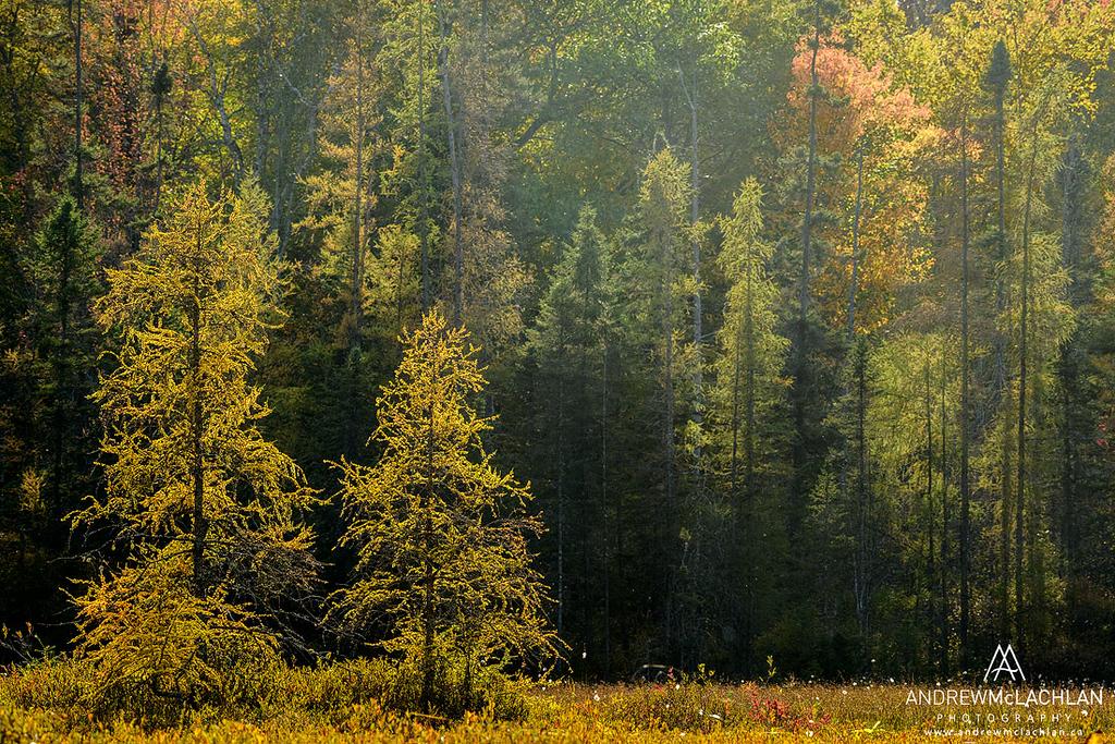 Eastern Larch in Autumn, Muskoka, Ontario, Canada