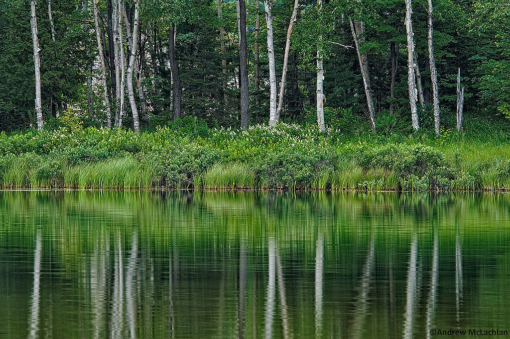 Birch Trees and Reflections on George Lake, Killarney Provincial Park, Ontario