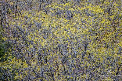 Spring Aspen Trees, Barrie, Ontario, Canada