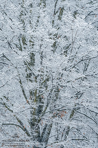 Winter Tree in WInter, Ontario, Canada
