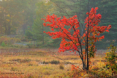 Autumn Red Maple at the Torrance Barrens, Muskoka, Ontario, Canada