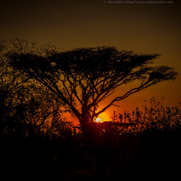 Sunset over Acacia Tree at Ngorongoro