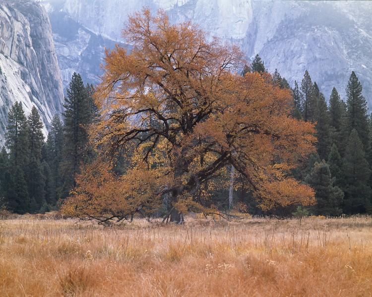 Yosemite's Elm in Fall dress