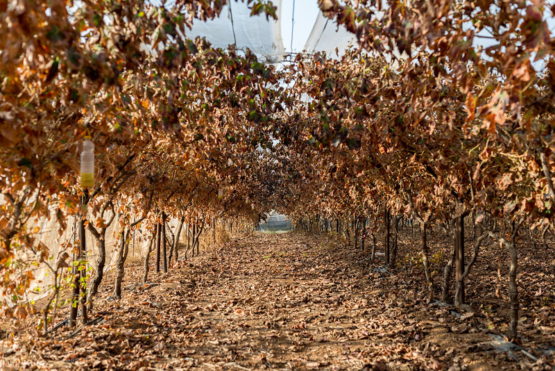 Lachish Vineyards, Israel