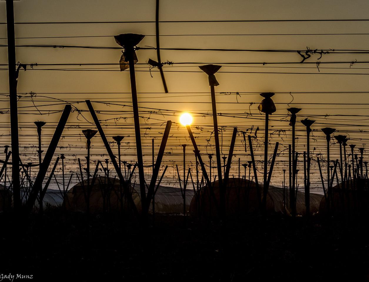 Lachish Vineyards, Israel - dawn
