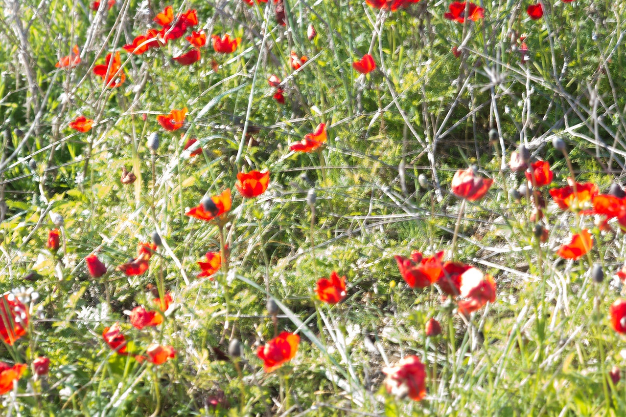 Anemones at Shokeda Forest _ Negev North-West