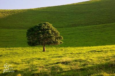 Solitary Green Tree