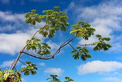 Hawaiian Tree Reaching for the Sky