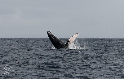 Breaching Humpback Whale Whales having a lot of fun jumping, splashing and making a spectacle.