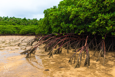 Mangrove Roots into Mud