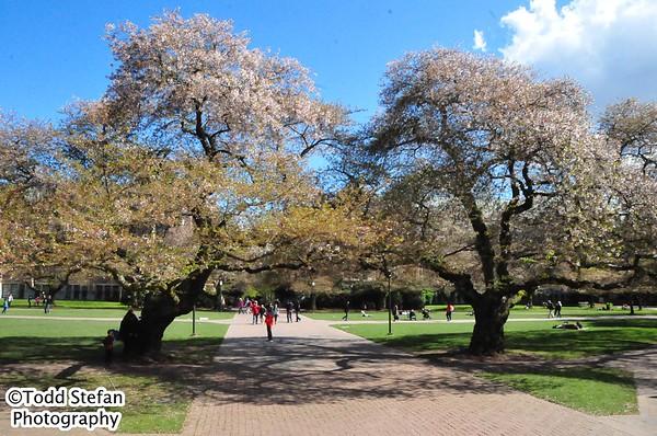 04-15-2017 UW Spring Blossoms
