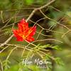 12  G Acadia Color Leaf