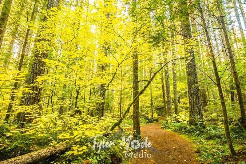 47  G Yellow Maple