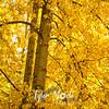 71  G Yellow Tree