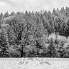 20  G The Old Tree Snow BW