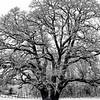 23  G Snowy Oak BW V