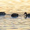 3  G Morning Ducks