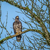 4  G Young Eagle