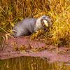 16  G Otter Eating Fish