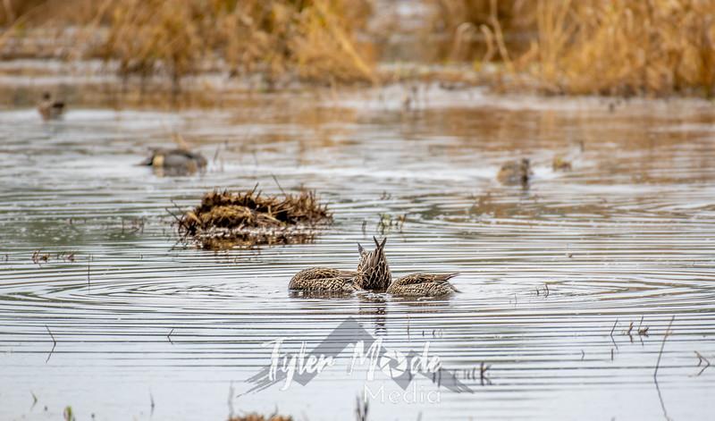 1  G Diving Ducks