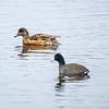 4  G Ducks