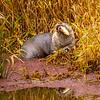 18  G Otter Eating Fish