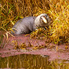 17  G Otter Eating Fish