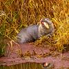 20  G Otter Eating Fish