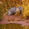 15  G Otter Eating Fish