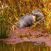 23  G Otter Eating Fish