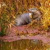 21  G Otter Eating Fish