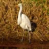 11  G Great Egret Eating Fish V