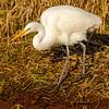 6  G Great Egret Eating Fish V