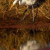 9  G Great Egret Eating Fish V