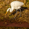 5  G Great Egret Eating Fish V