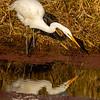 12  G Great Egret Eating Fish V