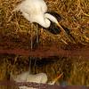 14  G Great Egret Eating Fish V