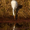 16  G Great Egret Eating Fish V